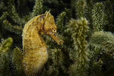 Yellow seahorse (Hippocampus kuda) Hoi Ha Wan Marine Park, northeast coast, New territories, Hong Kong, China.
