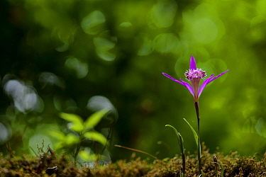 Pink flower, Tangjiahe National Nature Reserve, Sichuan Province, China