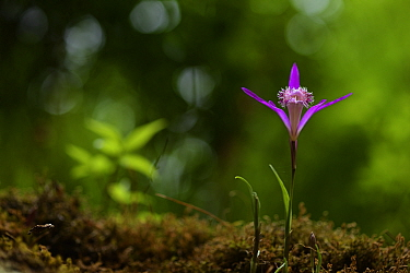 Hardy Chinese orchid (Pleione limprichtii) Tangjiahe National Nature Reserve, Sichuan Province, China
