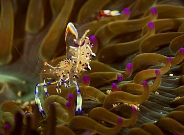 Anemone shrimp (Periclimenes holthuisi) Pak Lap Tsai, Sai Kung East Country Park, Hong Kong, China.