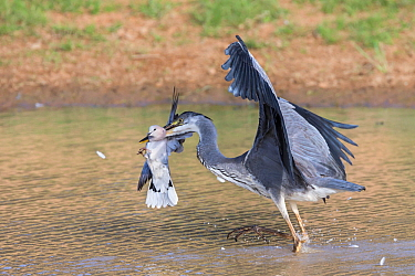 Blackheaded heron (Ardea melanocephala) catching Cape turtle dove (Streptopelia capicola), Kgalagadi Transfrontier Park, South Africa, February.