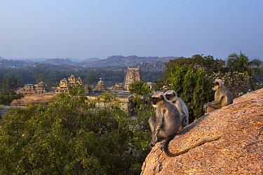 Southern plains grey langurs (Semnopithecus dussumieri). sitting on rocks overlooking ruined temples . Hampi, Karnataka, India.