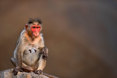 Bonnet macaque (Macaca radiata) female portrait . Hampi, Karnataka, India.