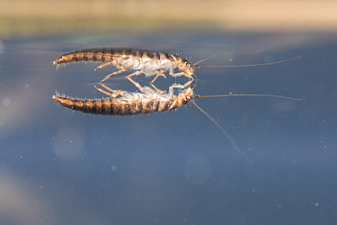 Marsh beetle larva (Scirtidae), walking upside down on the meniscus of the water surface, Europe, June, controlled conditions