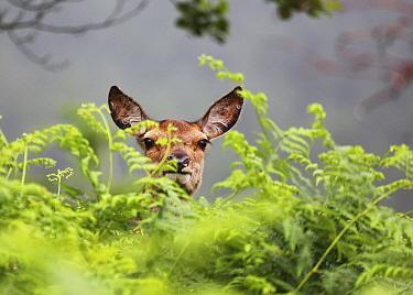 Red deer (Cervus elaphus) hind in bracken, Glen Etive, Scotland, UK. June.