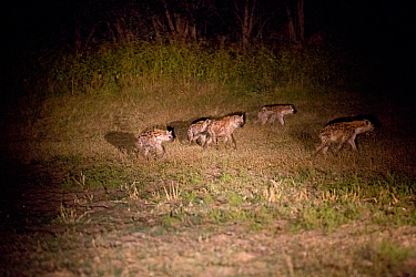 Spotted hyaena (Crocuta crocuta) group hunting at night, South Luangwa Valley, Zambia.