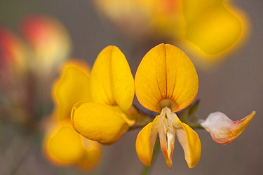 Bird's-foot trefoil (Lotus corniculatus), flower detail, 'Uthorn' Nature Reserve, List, Island of Sylt, Wadden Sea National Park, UNESCO World Heritage Site, Germany.