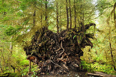 Young trees growing in the root ball of a fallen tree along the Spruce Loop, Hoh Rain Forest, Olympic National Park, Washington, USA, April.