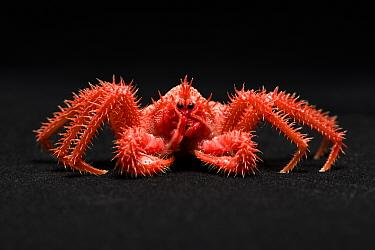Many-spined king crab (Paralomis multispina), juvenile caught at a depth of 1000m. Suruga Bay, Shizuoka Prefecture, Honshu, Japan. April.