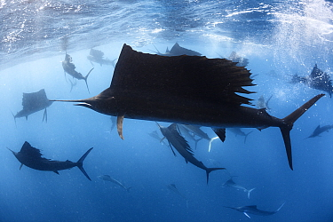 Indo-Pacific sailfish (Istiophorus platypterus) in feeding frenzy, with the remains of a previously large school of sardines (Sardina sp) in background. Isla Mujeres, Cancun, Mexico.