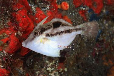 Hairfinned leatherjacket (Paramonacanthus japonicus), juvenile attended to by a multicolored Cleaner shrimp (Ancylomenes sp). Osezaki, Izu Peninsula, Shizuoka Prefecture, Japan. November.