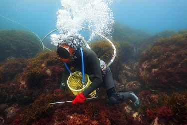 Ama diver searching for shellfish including Sea snails (Turbo sazae) amongst seaweed. Hose supplies diver with air and enables communication with husband at surface. Futo Harbour, Izu Peninsula, Honsh...