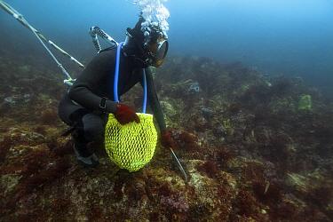 Ama diver searching rocks for shellfish including Sea snails (Turbo sazae) in decreasing visibility. Futo Harbour, Izu Peninsula, Honshu, Japan. June 2010.
