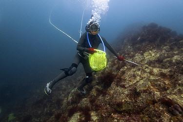 Ama diver searching rocks for shellfish including Sea snail (Turbo sazae). Futo Harbour, Izu Peninsula, Honshu, Japan. June 2010.