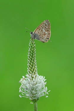 Lang's short-tailed blue butterfly (Leptotes pirithous) resting on top of Plantain (Plantago sp) flowerhead. South of Casteil, Pyrenees Orientales, south west France. May.