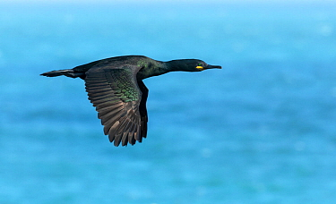 Shag (Phalacrocorax aristotelis) in flight over sea. Great Saltee Island, Saltee Islands, County Wexford, Republic of Ireland. June.