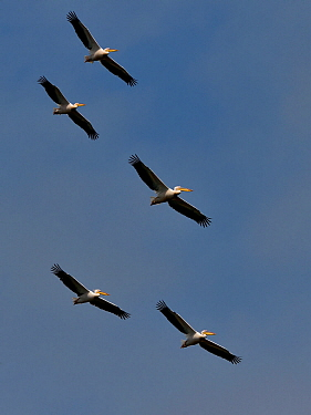 Great white pelican (Pelecanus onocrotalus), group of five flying against blue sky, Danube Delta, Romania. May.