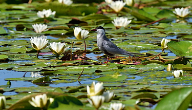Whiskered tern (Chlidonias hybrida) standing amongst White water lilies (Nymphaea alba). Danube Delta, Romania. May.