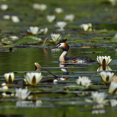 Great crested grebe (Podiceps cristatus) amongst White water lilies (Nymphaea alba). Danube Delta, Romania. May.