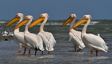 Great white pelican (Pelecanus onocrotalus), group standing in Black Sea, Romania. May.