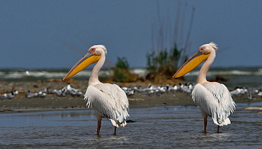 Great white pelican (Pelecanus onocrotalus), two standing in Black Sea, Romania. May.