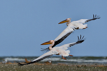 Great white pelican (Pelecanus onocrotalus), two flying in unison. Black Sea, Danube Delta, Romania. May.