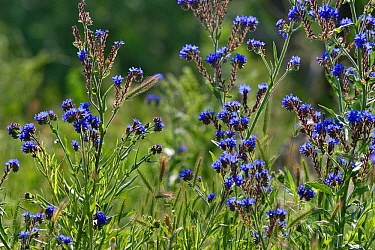 Common bugloss / alkanet (Anchusa officinalis). Danube Delta, Romania. May.