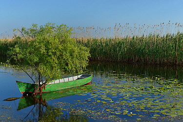 Boat moored beside tree in Danube Delta. Reedbed in background. Letea, Romania. May 2018.