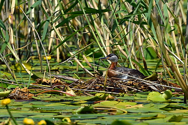 Red necked grebe (Podiceps grisegena) sitting on nest amongst water lilies and reeds. Danube Delta, Romania. May.