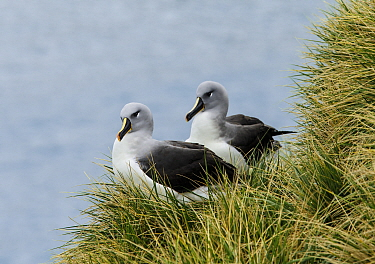 Grey-headed albatross (Thalassarche chrysostoma), pair at nest.  Elsehul, South Georgia. October.
