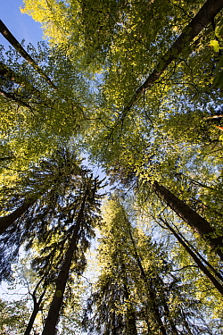 Mixed forest in spring, Bavarian Forest National Park, Bavaria, Germany, April.