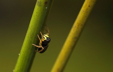 Jumping spider (Heliophanus dampfi), climbing up a rush (Juncus sp), Bavarian Forest National Park, Bavaria, Germany