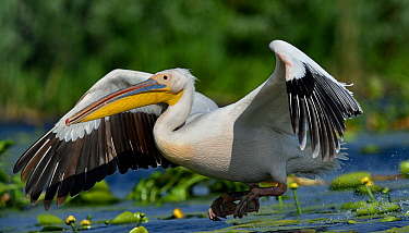 Great white pelican (Pelecanus onocrotalus) taking off amongst water lilies. Danube Delta, Romania. May. Uncatalogued