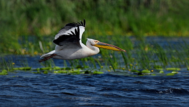 Great white pelican (Pelecanus onocrotalus) in flight. Danube Delta, Romania. May.