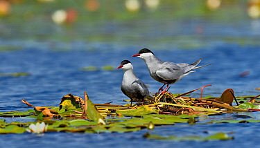 Whiskered tern (Chlidonias hybrida) pair at nest in water lilies. Danube Delta, Romania. May.