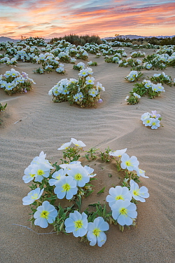 Birdcage evening primrose (Oenothera deltoides) flowering in the sand dune flats near Joshua Tree National Park, California, USA, March.