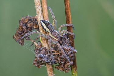 Raft spider (Dolomedes fimbriatus), Klein Schietveld, Brasschaat, Belgium. August