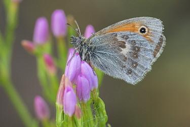 Small Heath butterfly ( Coenonympha pamphilus), Klein Schietveld, Brasschaat, Belgium. August