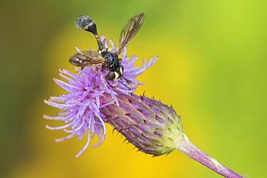 Fly (Physocephala rufipes), Klein Schietveld, Brasschaat, Belgium. August