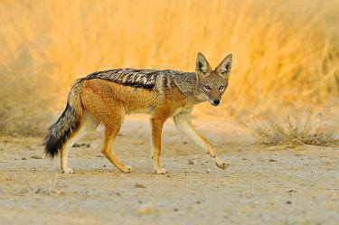 Black-backed Jackal (Canis mesomelas) in savanna, Etosha National Park, Namibia