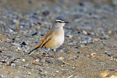 Kalahari Scrub Robin (Cercotrichas paena) profile, Namibia