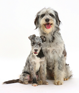 Blue merle Cadoodle and mutt pup.