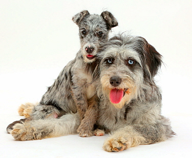 Blue merle Cadoodle and mutt pup resting.