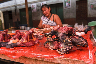 Various parts of South American yellow-footed tortoises (Chelonoidis denticulata), Vulnerable species, and terrapin species from the Amazon basin are sold for food in the Belen market, Iquitos, Peru....