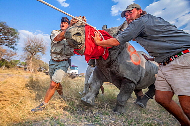 Vets and conservationists guide a blindfolded and partially drugged adult white rhino (Ceratotherium simum) out of its transport crate and into its new home in northern Botswana during a translocation...