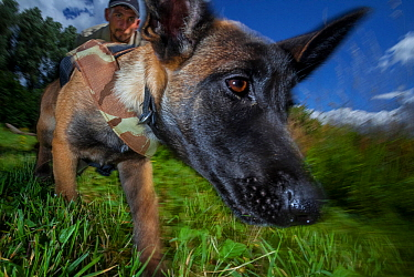 Belgian Shepherd dog, young dog trained as rhino protection dog during poacher tracking training. Animals Saving Animals training facility, England. This dog will be deployed to Botswana of Rhino Cons...