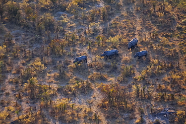 Aerial view of a herd of wild White rhinoceros (Ceratotherium simum) running free on Chief's Island, Okavango Delta, Botswana. Winner of the Environmental Picture Story Category of the NPPA Best in Ph...