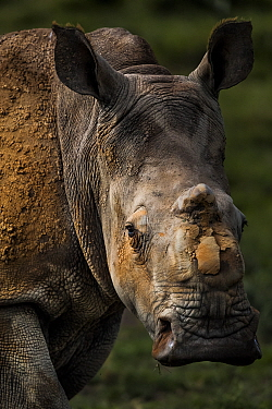 Scarred face of a white rhinoceros (Ceratotherum simum) that survived an attack by poachers who illegally tranquillised her, two other rhinoceroses died from their injures. However this female 'Th...