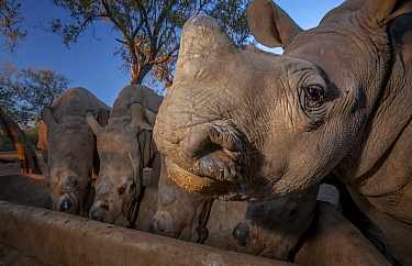 White rhinoceros (Ceratotherium simum) five calves, orphaned from poaching feeding from a trough at dusk at the Rhino Revolution orphanage near Hoedspruit, South Africa. May 2017. Highly Commended in...
