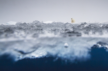 Polar bear (Ursus maritimus) in the drifting ice north of Svalbard, Norway. Highly commended in the GDT European Wildlife Photographer of the Year Awards 2018.